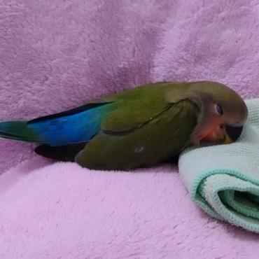 ケージは狭くて嫌いピロよ。ただ寝るだけでもお膝がいいピロよ。