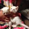 かわいい子猫 兄弟 (白 子猫2匹)