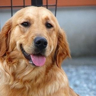 ゴールデン 5歳7か月 女の子 ~繁殖犬引退犬~