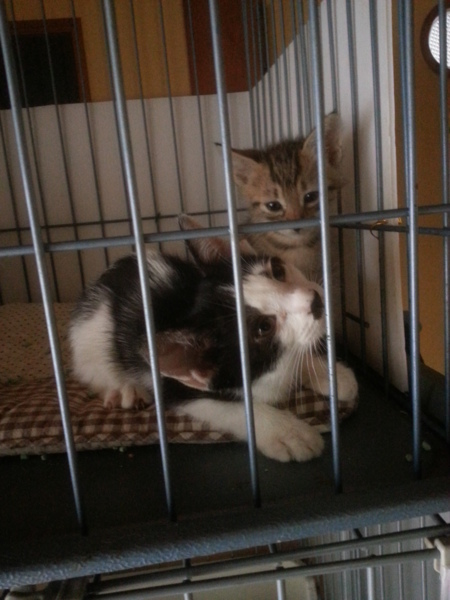 「人懐っこい、ちょび髭の福君!」三重県 - 猫の里親募集(72421)