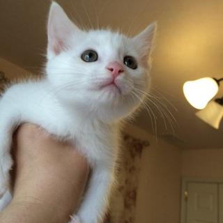 ふわふわ白子猫 2カ月 スリゴロちゃん メス