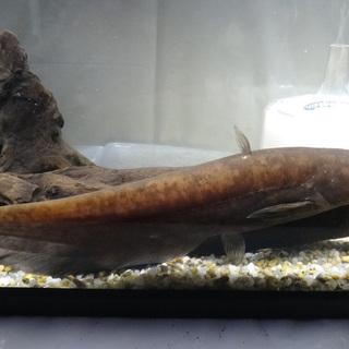 イワトコナマズ全長25cm