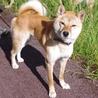 柴犬 1歳くらい10kg