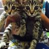 キジトラの子猫3姉妹です。