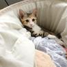 生後2ヶ月半☆ミケの女の子 サムネイル5