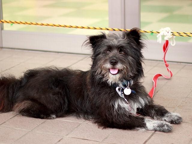 「人懐っこい長毛の洋犬mi...」三重県 - 犬の里親募集(62741)