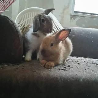 生後二か月のウサギさん里親募集