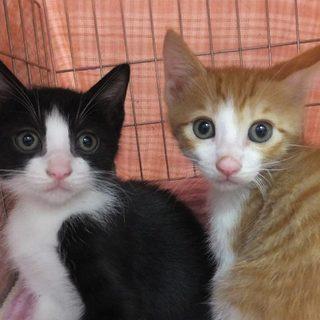 生後1カ月半可愛い仔猫5兄妹です!