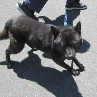 小ぶりな甲斐犬ミックス月姫ちゃん3歳位