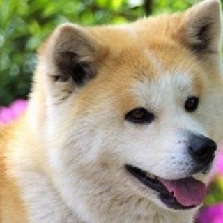 穏やか秋田犬のナナちゃん6歳くらい