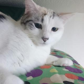 最初だけ時間ください凛々しいフワフフワ美人猫