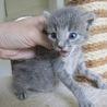 グレーの赤ちゃん子猫 ゆりあちゃん