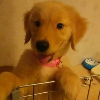 ゴールデンレトリバー 3ヶ月の子犬ちゃんです♪
