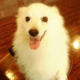 元ショー日本スピッツ3才犬訓練士にて預かり
