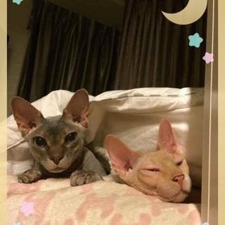 2匹猫 スフィンクス 里親探す