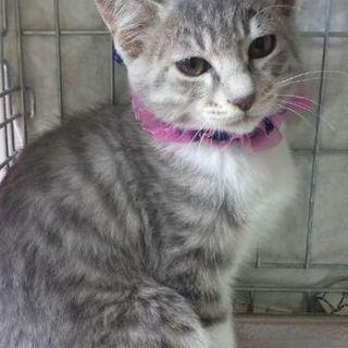 最初だけ人見知り、でも人猫大好き銀トラ子猫!