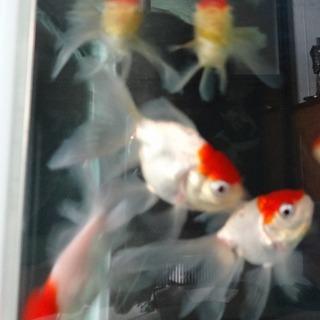 金魚 丹頂 8匹