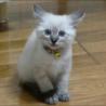 青い目をした綺麗な子猫です