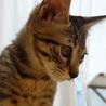 生後3ヶ月くらいのしっぽがないキジトラ♂です
