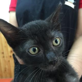 黒子猫のマロン 男の子 2か月半