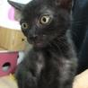 黒子猫のマロン 男の子 2か月半 サムネイル2