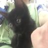 黒子猫のマロン 男の子 2か月半 サムネイル4