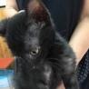 黒子猫のマロン 男の子 2か月半 サムネイル6