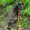 花魁はリードをつけての散歩が好き!道草くってます^^