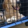 ゴールデンレトリバー 子犬 サムネイル2
