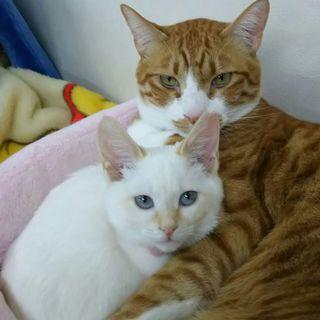 生後7ヶ月、青い目で茶ポイントの白猫ちゃんです!