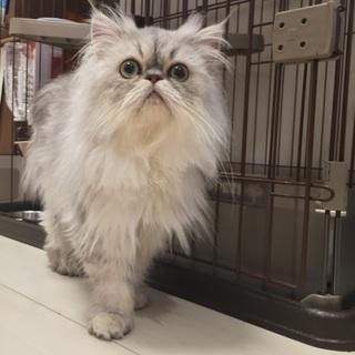 ペルシャ猫の里親さんを募集していますm(_ _)m