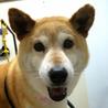 コマちゃん★柴犬女の子