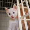 【子猫】白猫ブルーアイのマシロ♀※2匹引き取り優先
