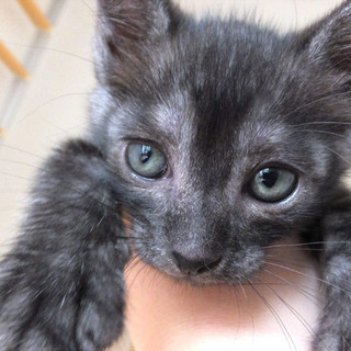 黒猫(スモーク)♀、生後1~2か月程です