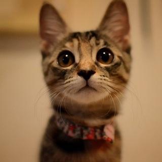 甘えんぼキジトラ美猫