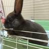 ミニレッキス♀ 仔ウサギ(4か月) ブラウン