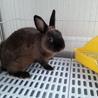 ミニウサギ譲ります