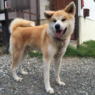 1〜2歳の秋田犬。性格良しの小さめ24キロ男子!
