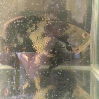 熱帯魚オスカー