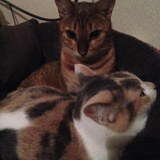 かわいいベンガル猫さんです!