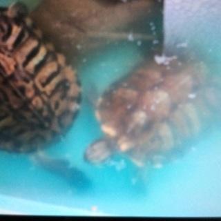 ミドリガメ2匹の里親募集です