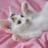 【子猫】人間大好き!メレンゲちゃん