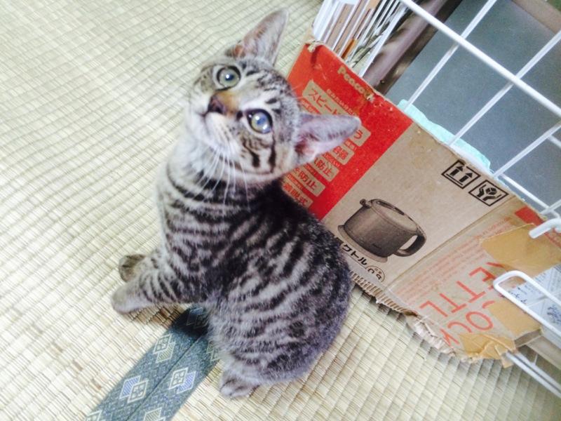 「【キジトラ】しんちゃん(仮名)」三重県 - 猫の里親募集(79693)