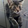 キジトラ子猫。オス君 (里親さん決定)