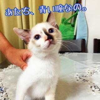 青い瞳のシャム系子猫さん♪茶トラくんの妹 2ヶ月弱