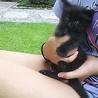 ふわふわ長毛♪1ヶ月の黒猫♪目はブルー男の子です