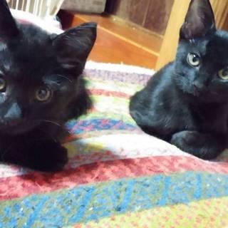 可愛い黒猫の子猫です