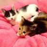 4,5週間 つぶらなお目目の子猫たち#80596