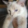 クリーム色の人懐こい長毛子猫