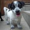 胴長短足の可愛い「毬子」ちゃん、面白い子犬です